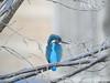 Common Kingfisher (Corine Bliek) Tags: alcedoatthis bird birds vogel vogels natuur nature wildlife water stream sloot