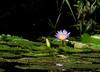 Water lilys (jaffles) Tags: southafrica südafrika kruger np krügernationalpark natur nature wildlife safari olympus