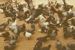 DSCF2241 (দূর্লভ) Tags: street pigeon