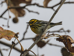 Townsend's Warbler, Setophaga townsendi (bruce_aird) Tags: