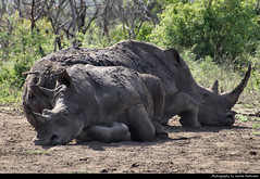 White rhinos taking a nap, Hluhluwe-iMfolozi-Park, South Africa (JH_1982) Tags: white rhinoceros squarelipped rhino ceratotherium simum breitmaulnashorn nashorn rinoceronte blanco rhinocéros blanc 白犀 シロサイ 흰코뿔소 белый носорог وحيد القرن الأبيض sleeping nap hluhluweimfolozipark hluhluwe imfolozi park national nationalpark np pn parque nacional parc nazionale 赫卢赫卢韦–印姆弗鲁兹公园 landscape nature scenery scenic south africa rsa za südafrika sudáfrica afrique sud sudafrica 南非 南アフリカ共和国 남아프리카 공화국 южноафриканская республика جنوب أفريقيا