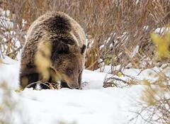Picking up a scent... (DTT67) Tags: 500mm 1dxmkii canon wildlife nature wy tetons grandtetons snow animal mammal bear grizzlybear