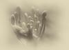 Summer haze.... (flying-leap) Tags: lensbabycomposerpro macro4 newzealand canon 60d northcanterbury nz the4seasons macro summer 4summer monochrome mono flowers softfocusoptic agapanthus largerdisk