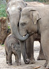 asiatic elephant Thabo and Kina  and Kyan Amersfoort BB2A1854 (j.a.kok) Tags: olifant aziatischeolifant asiaticelephant elephant asia azie amersfoort animal herbivore mammal zoogdier dier thabo kina kyan