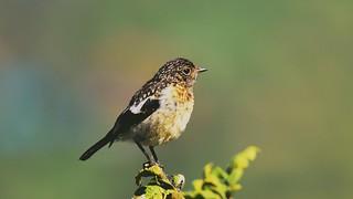 A small bird found near Nairobi Kenya