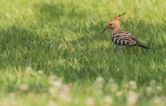 Houp houp houp (CycyM) Tags: oiseau plumes ailes huppe herbe bec hérault nature extérieur été fasciée