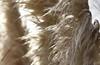 Amerikanisches Pampasgras (Cortaderia selloana); Luz (Lagos), Portugal (183) (Chironius) Tags: portugal algarve luz grasblüte blüte blossom flower fleur flor fiore blüten цветок цветение gras gräser herbe graminées grass grasses erba трава трав commeliniden süsgrasartige poales gegenlicht süsgräser poaceae травы pooideae