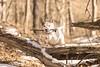 Flight (J. Love Photography) Tags: leap jump tree usa northcarolina nc pittsboro winter park snow play fetch 85mm d5300 nikon action rescue outdoors animal pet dog