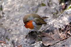 Robin - Aysgarth Falls - 2017-12-12 (BillyGoat75) Tags: robin bird nature aysgarthfalls thedales northyorkshire