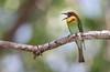 Chestnut-headed bee-eater (caberdoz) Tags: beeeater bee eater guepier thailand thailande bird oiseau