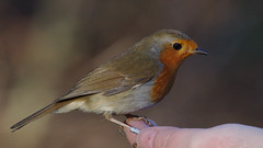 The locals are friendly at Brandon Marsh (stephen.reynolds) Tags: brandon marsh robin eating from hand