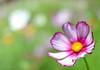 A change of scenery (StefanKleynhans) Tags: nikon d3200 35mm f18 flower green pink yellow white botanicalgarden sydney rbg basic