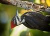 Woody Woodpecker... (DTT67) Tags: pileatedwoodpecker woodpecker pileated bird pecking wildlife nature nationalgeographic canon 1dxmkii 500mmii florida sanibelisland