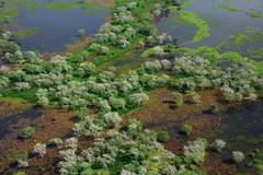 Faidherbia albida (zimbart) Tags: mozambique africa gorongosanationalpark lakeurema flora angiosperms fabales fabaceae mimosoideae faidherbia faidherbiaalbida water