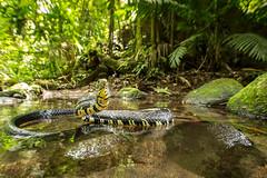 Oriole Snake (Spilotes pullatus) in a shallow river bed (Chris Jimenez Nature Photo) Tags: serpientetigre oriolesnake mica costarica nature snakes wildlife chris jimenez caninana yellowratsnake spilotespullatus