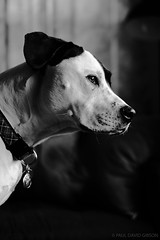 Ella | Seattle, WA | December 2017 (Paul David Gibson) Tags: dog ella puppy blackandwhite pitbull pitmix
