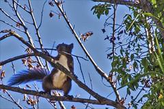Scoiattolo nero (gio.cam) Tags: scoiattolo ramo estate ngc