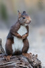 20180104_MG_4128-Ardilla. (vipuchol) Tags: ardilla sciurus vulgaris roedor esciuromorfo sciuridae