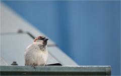 grocery store sparrow (marneejill) Tags: sparrow ledge lines blue high