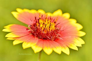 Firewheel flower macro DSC_0357