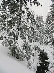 2018 fir trees in snow