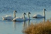 Mute Swans on The River Clwyd (MeirionWyn) Tags: swan northwales wales 2018 denbighshire nature birds wildlife river clwyd vale rhuddlan