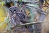 Northern Saw-whet owl (Peter Bangayan) Tags: northersawwhetowl owl wildlife wildlifephotography nature canon 1dx ef500mmf4lisusm washington birds smallbirds