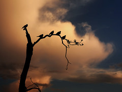 Hope after the Storm (Carlos Gotay Martínez) Tags: arecibo maría puertorico birds branches clouds golden goldenhour group hope hurricane landscape nature outdoor recovery scenic silhouette sky solitude storm sunset tree warm warmtone