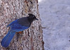 Steller's Jay...#9 (Guy Lichter Photography - 3.7M views Thank you) Tags: stellersjay canon 50d canada alberta lakelouise wildlife animal animals birds