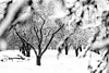 Winter orchard (marregurra2012) Tags: winter tree orchard appletree monochrome snow ice sweden