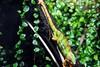Chameleon (111) (Juergen__S) Tags: park animals belgium brugelette belgien owl show fire sky bird eagle lake pumpkin monkey tiger gorilla artist lion giraffe lemur pelican aligator fish snake turtle lightshow