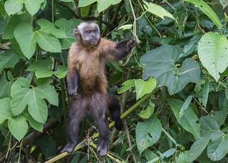 Tufted (Brown) Capuchin