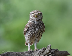 Little Owl (mikedenton19) Tags: little owl littleowl athene noctua athenenoctua lesgibbonhide eastyorkshire wildlife nature bird birdofprey bop strigiformes 30dayswild