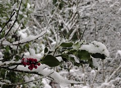 Snow in Vancouver (France-♥) Tags: 38 winter hiver neige snow northvancouver canada bc holly berries evergreen vancouver froid cold