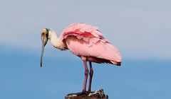 Roseate Spoonbill (c) 2015 Julie Zambory. All rights reserved.