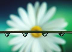 Daisy in droplets (abiward) Tags: daisy flower droplet waterdroplets blue green macro macrophotography closeup refraction nikond600 nikon