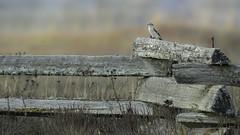 Me and my domain- Northern Shrike (Chantal Jacques Photography) Tags: meandmydomain northernshrike saanichtonspit birdscape depthoffield bokeh wildandfree ohyeah whatawonderfulworld