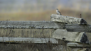 Me and my domain- Northern Shrike