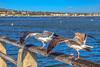 Birdwalk (Michael F. Nyiri) Tags: birds seagulls cabrillobeach sanpedro california southerncalifornia ocean