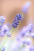 beautiful summer lavender (Martin K Photography) Tags: plant nature light closeup modern colorful sun sunlight bright lavender bush gardeb garden park outdoor bokeh style vintage eco enviroment