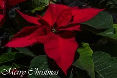 Merry Christmas (Kent Freeman (Off Line)) Tags: ricoh imaging company pentax k3 smc d fa macro 100mm f28 wr ricohimagingcompany ltd rotolight neo 2