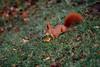 Puschel (Gruenewiese86) Tags: 7d eichhörnchen harz wernigerode squirrel nature lustgarten