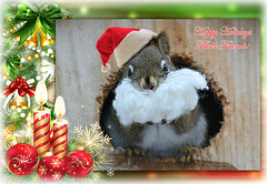 Happy Holidays Flickr Friends! (DaPuglet) Tags: squirrel squirrels animal animals santa christmas holidays newyear santaclaus beard winter funny alittlebeauty coth coth5