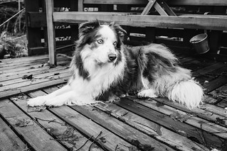 Anthony the Border Collie