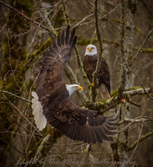 Eagle 2635 (Light of the Moon Photography) Tags: bald eagle nooksack river salmon run gathering perfect moment capture washington state spread wings framed winter 2017