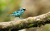 IMG_7735  Beryl Spangled Tanager (ashahmtl) Tags: berylspangledtanager tanager songbird tangaranigroviridis santadeo pichinchaprovince ecuador