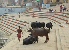 lines, muscles and skin (gerben more) Tags: buffalo animal ghat varanasi benares muscles shirtless people india