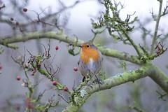 Robin (Erithacus rubecula) (jhureley1977) Tags: birds birdsofbritain birding hemelbirding hemelhempstead ashjhureley avibase naturesvoice bbcspringwatch rspbbirders ashutoshjhureley britishbirds boxmoortrust boxmoor robin erithacusrubecula