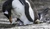 Gentoo Parent & Chick (puliarf) Tags: penguin gentoopenguin chick falklands antarctica oneocean naturalistjourneys oneoceanexpeditions pygoscelis papua pygoscelispapua