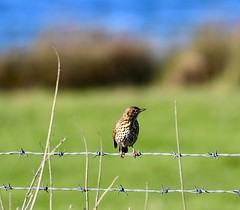 Song Thrush - - Taken at Titchmarsh Nature Reserve, Aldwincle, Northants. UK (Ian J Hicks) Tags: